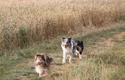 Nos shelties en balade